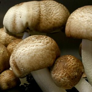 cogumelo do sol agaricus subrufescens blazei muril